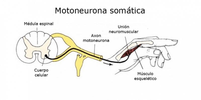 Motoneurona somática - esquema