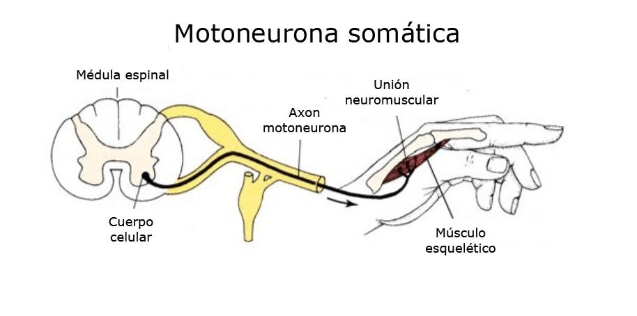 Cuál es la función de las motoneuronas? – Curiosoando