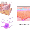 Melanocito (ilustración)