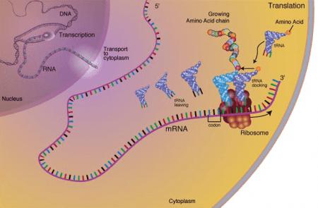 ADN a proteínas: transcripción y traducción