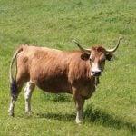 Bos primigenius taurus (vaca)