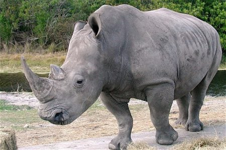 Ceratotherium simum (rinoceronte blanco)