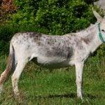 Equus africanus asinus (burro o asno)