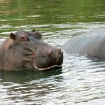 Hippopotamus amphibius (hipopótamo común africano)