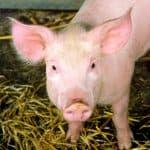 Sus scrofa domestica (cerdo doméstico)