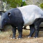 Tapirus indicus (tapir malayo)