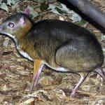 Tragulus javanicus (ciervo ratón de Java)