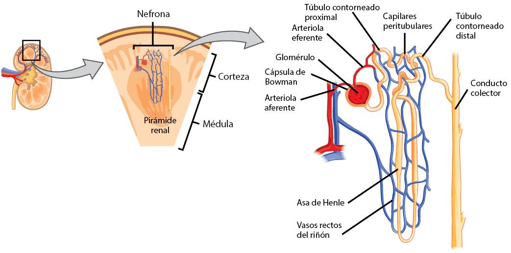 Anatomia del riñon - Mapa Mental