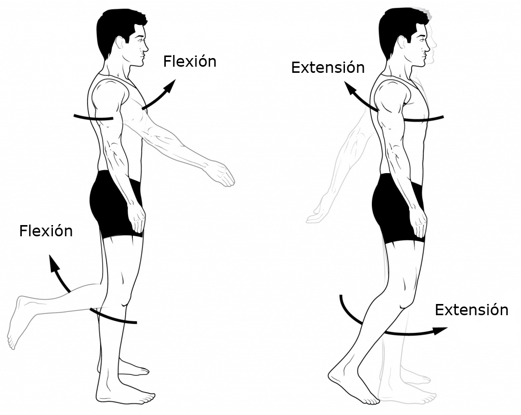 Cuál es la diferencia entre flexión y extensión? – Curiosoando
