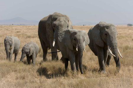 Loxodonta africana (elefante africano de sabana)