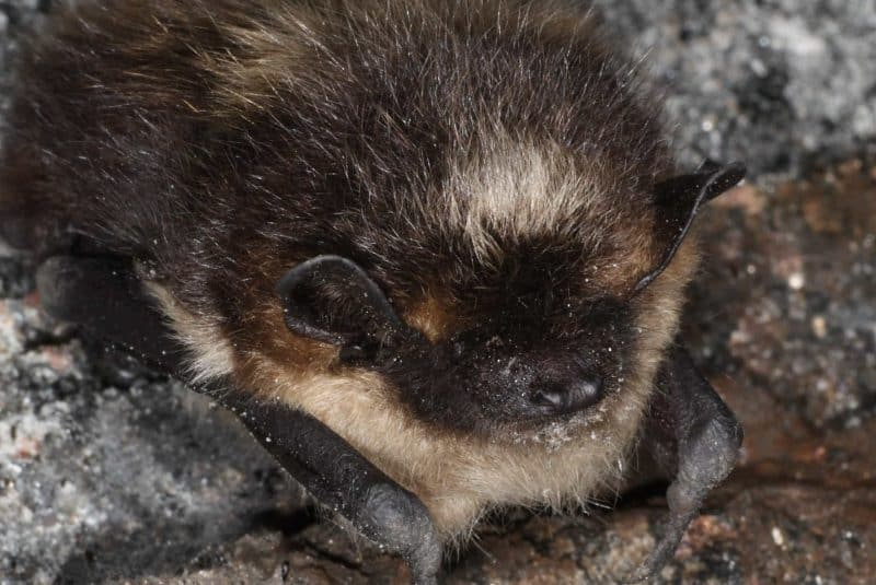 murciélago hibernando