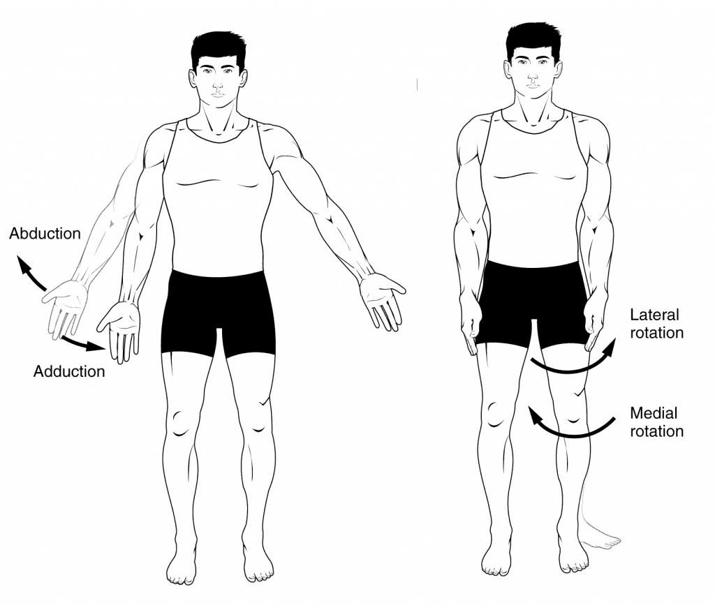 Qué son los músculos abductores y aductores? – Curiosoando