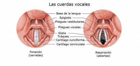 Cuerdas vocales (vista laringoscópica)
