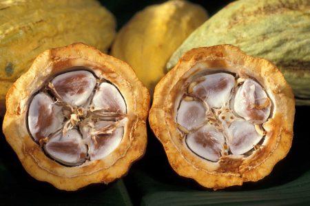 Fruto del cacao, corte transversal