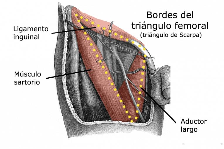 Bordes del triángulo femoral