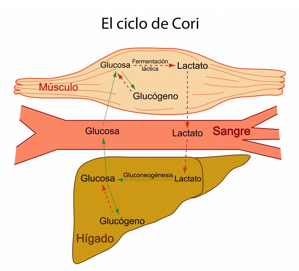 Esquema del ciclo de Cori