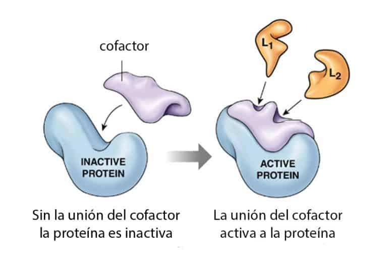Cofactores (bioquímica)