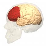 Cortex prefrontal izquierdo, vista lateral