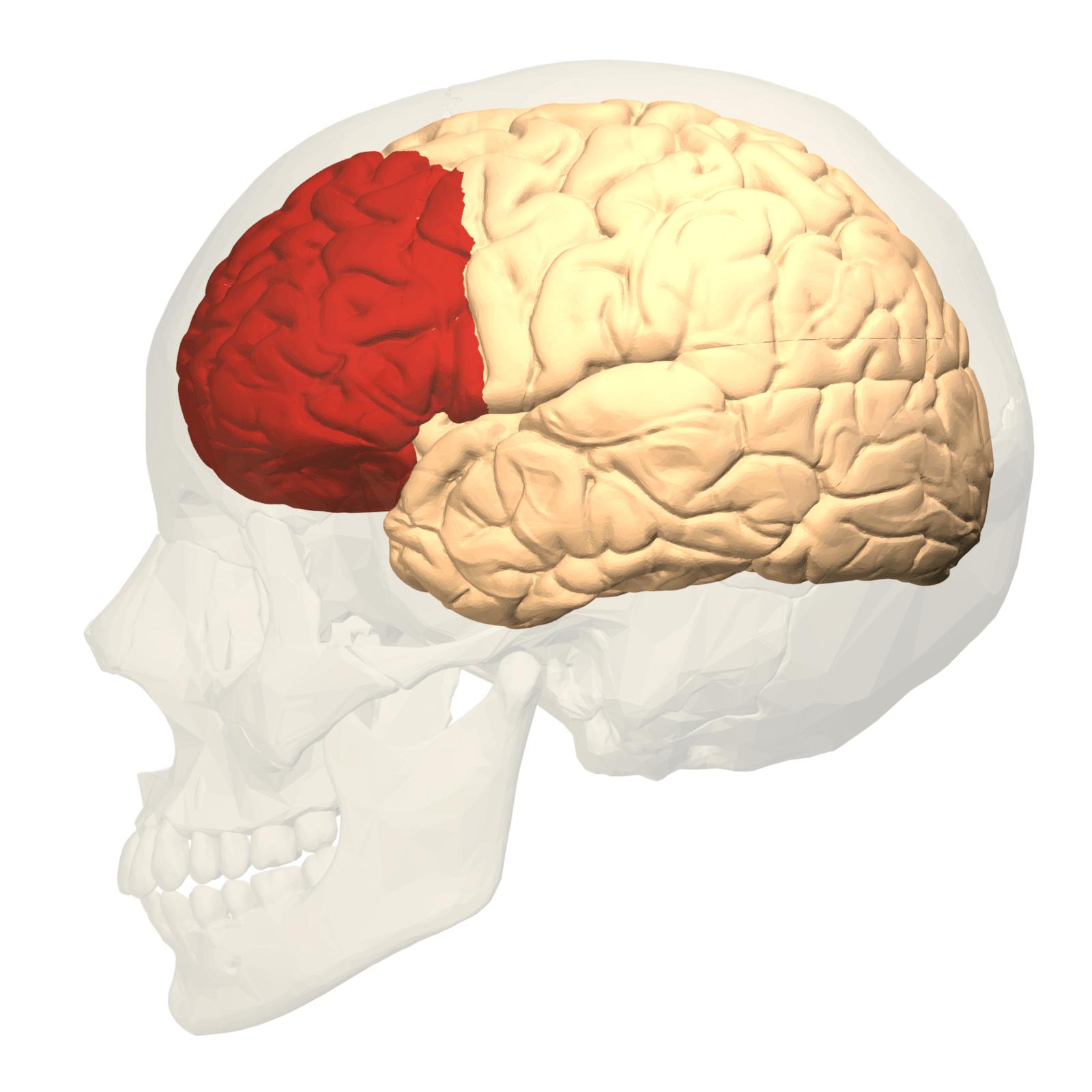 Resultado de imagen de corteza prefrontal
