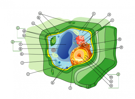 Diagrama y organelos célula vegetal