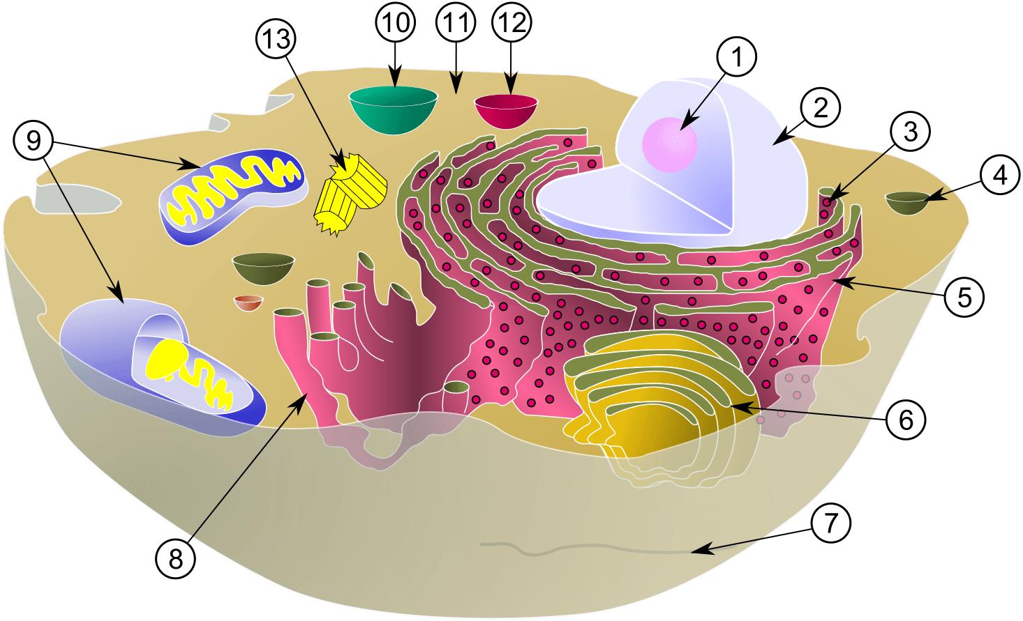 Qué son los organelos u orgánulos celulares? – Curiosoando