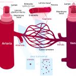 Diagrama de la circulación sanguínea