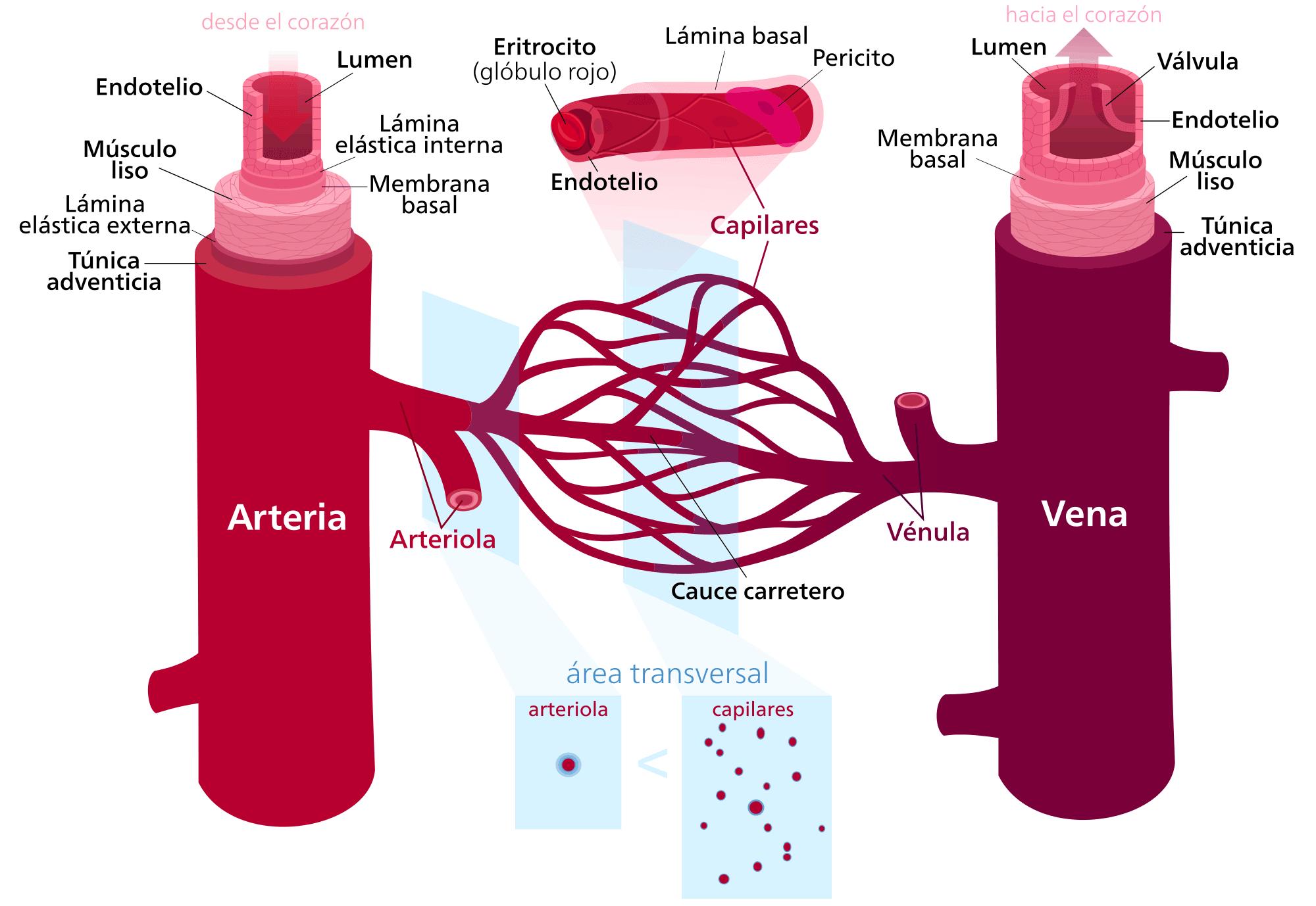Cuántos tipos de vasos sanguíneos existen? – Curiosoando