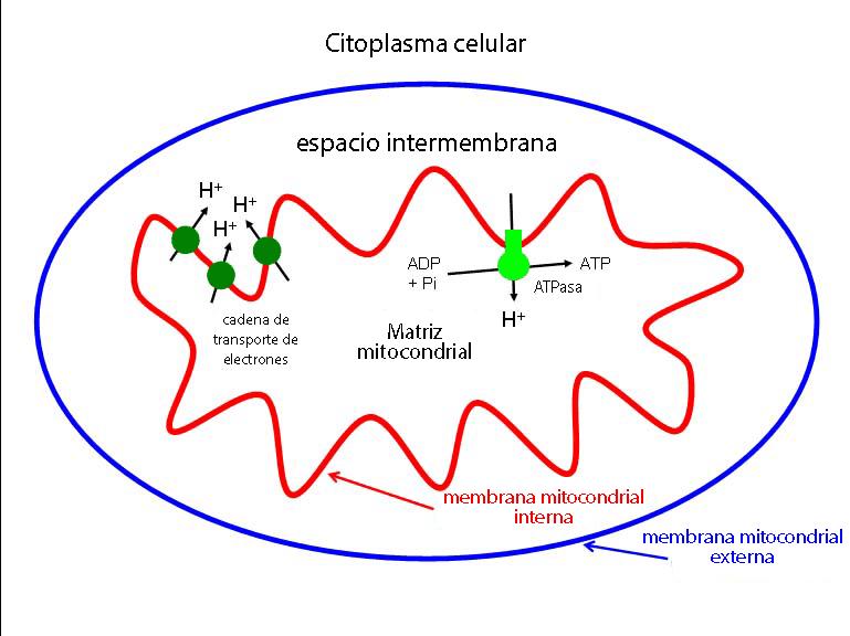 Esquema respiración celular en una mitocondria