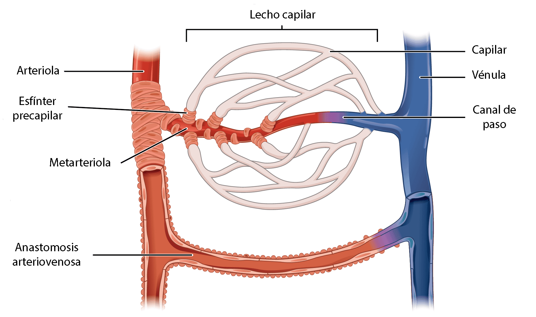 ¿Cómo se llaman los pequeños vasos sanguíneos?