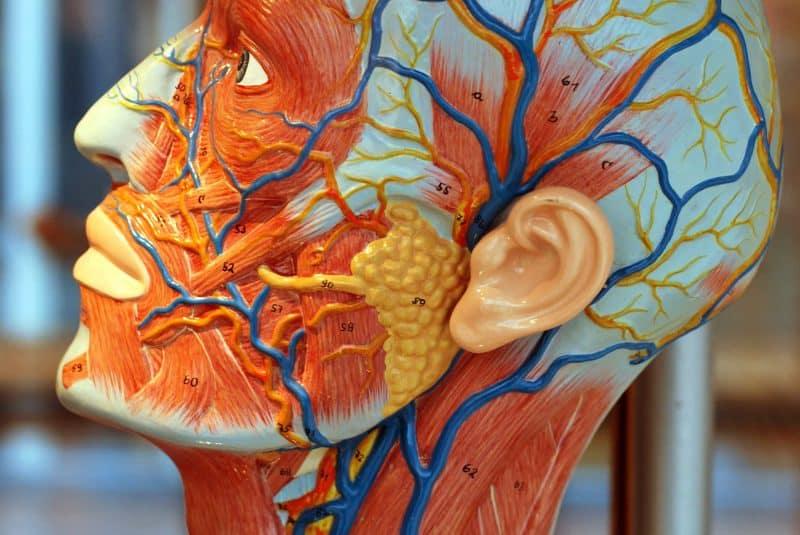 Modelo vasos sanguíneos de la cabeza