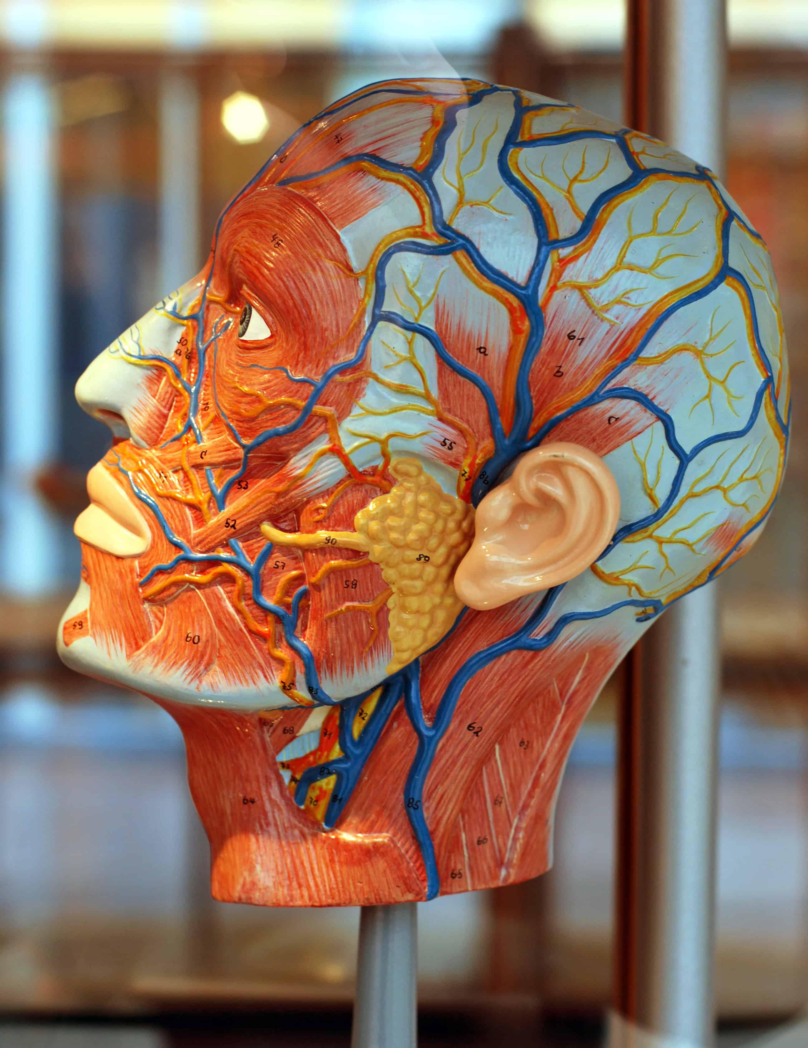 nombre de las arterias y venas mas importantes
