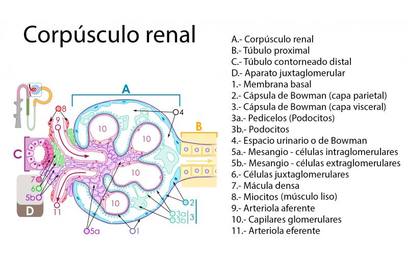 Esquema del corpúsculo renal