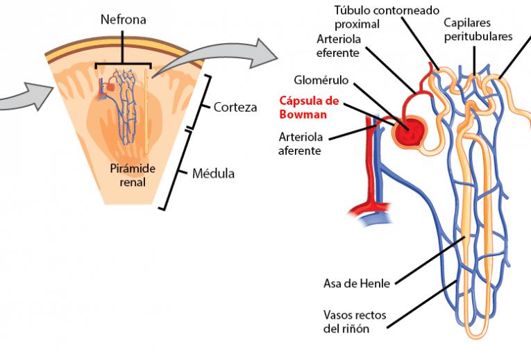 Localización de la cápsula de Bowman