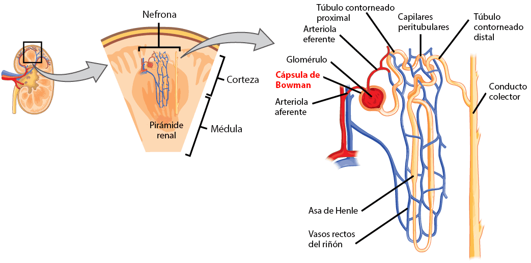 Cuál es la función de la cápsula de Bowman? – Curiosoando