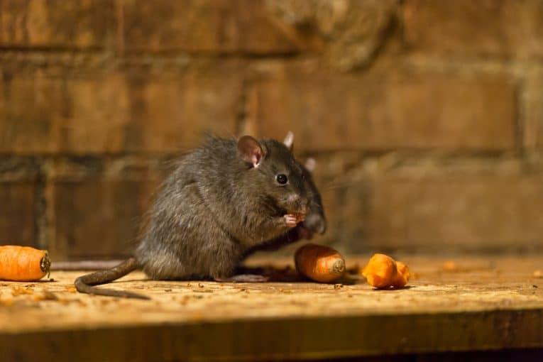 Rata comiendo zanahoria