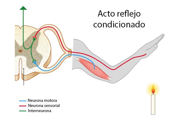 Reflejo condicionado