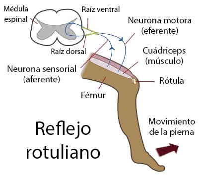 Esquema del reflejo rotuliano
