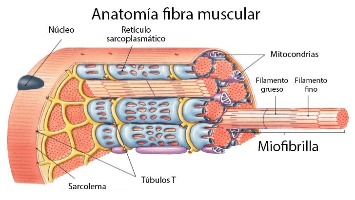 Anatomia de una fibra muscular esqueletica