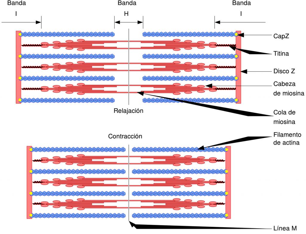Desplazamiento de los filamentos en el sarcómero