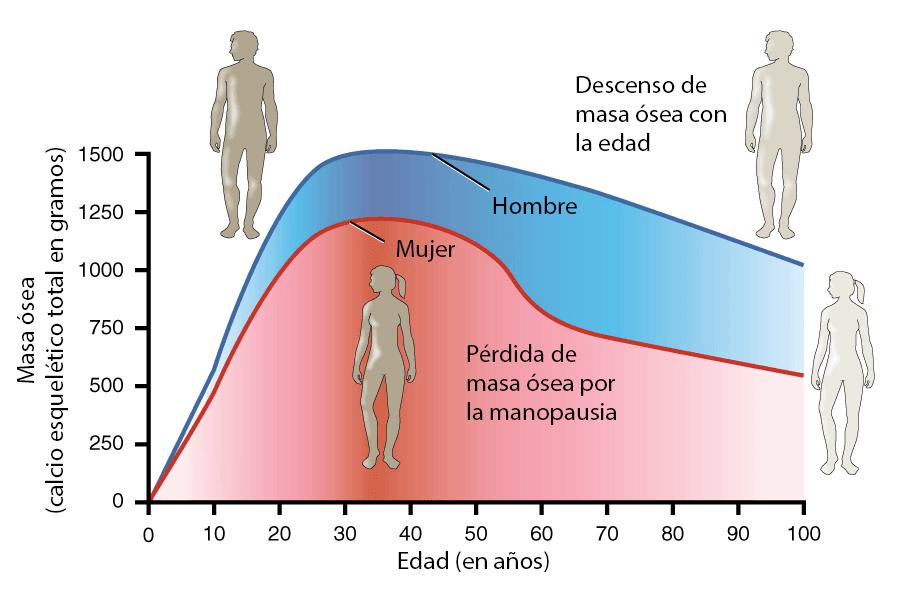 Evolución de la masa ósea con la edad