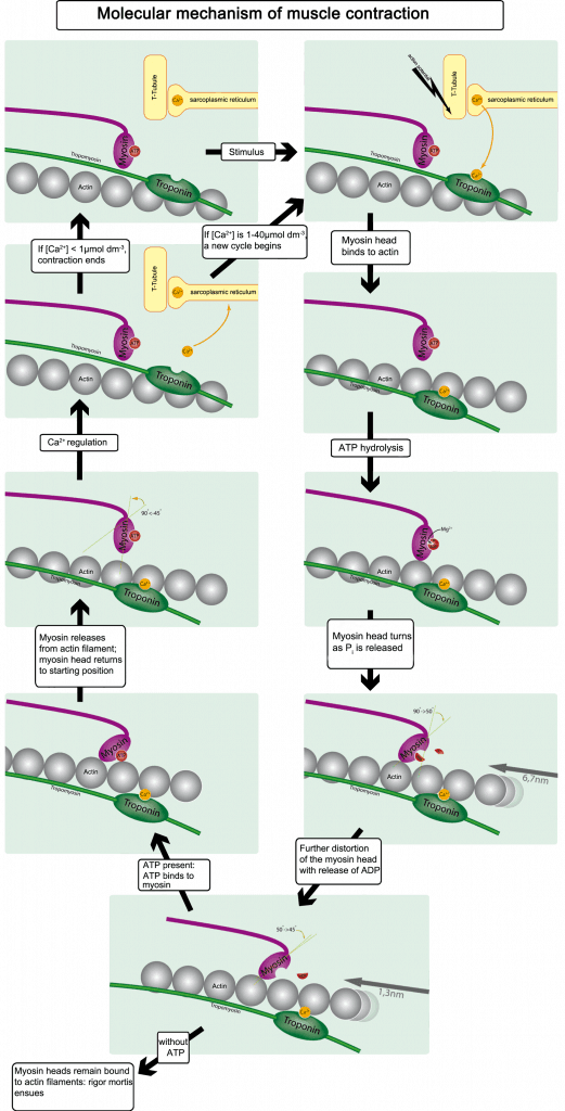Mecanismo molecular de la contracción muscular