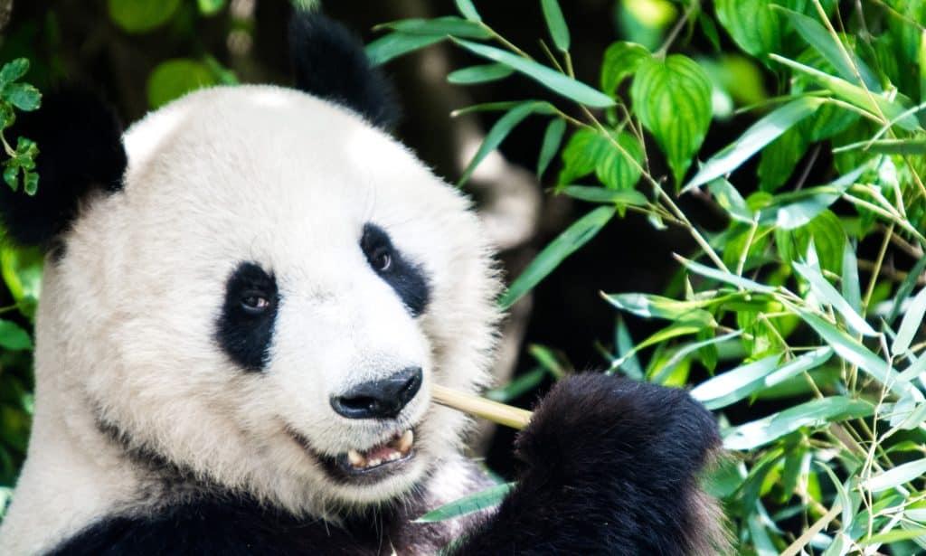 Oso panda (<i>Ailuropoda melanoleuca</i>)