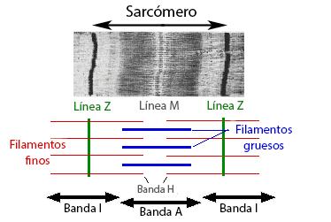 Sarcómero al microscopio electrónico