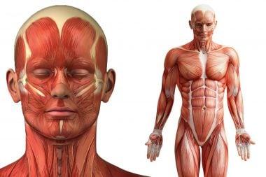 Sistema muscular esquelético (ilustración)