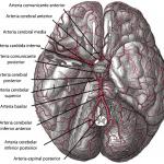 Arterias de la base del cerebro