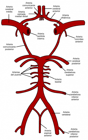 Esquema del círculo arterial cerebral