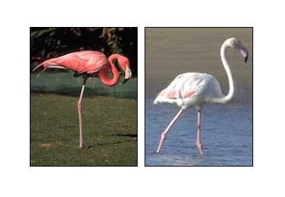 Fenotipo rosa en los flamencos