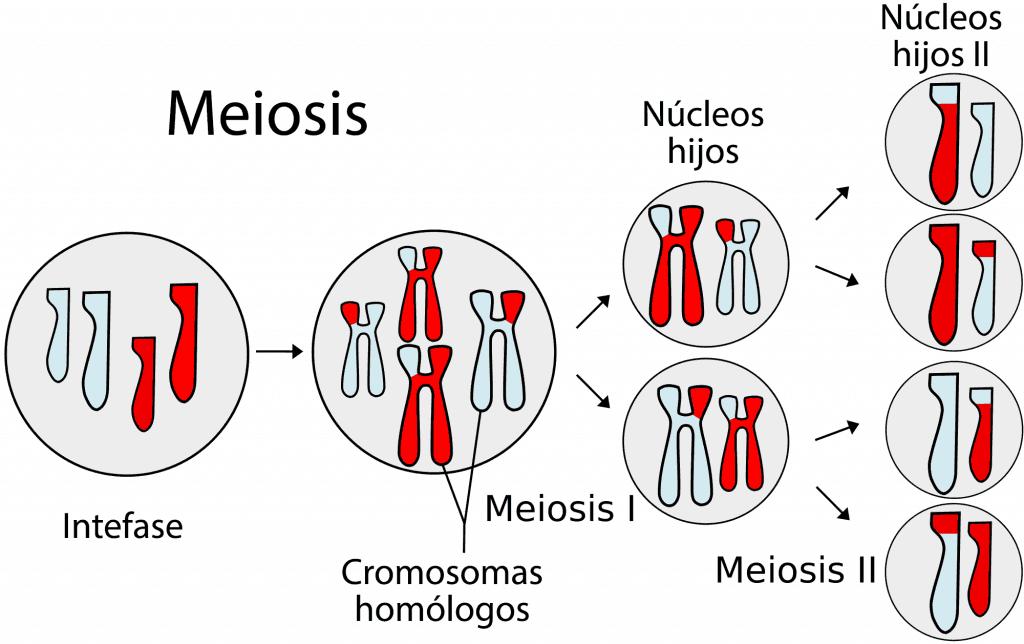 Esquema general de la meiosis