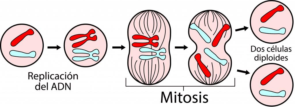 Esquema general de la mitosis