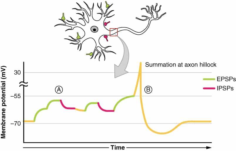 Adición de potenciales postsinápticos en el cono axónico
